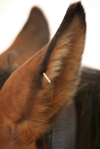 equine ear acupuncture